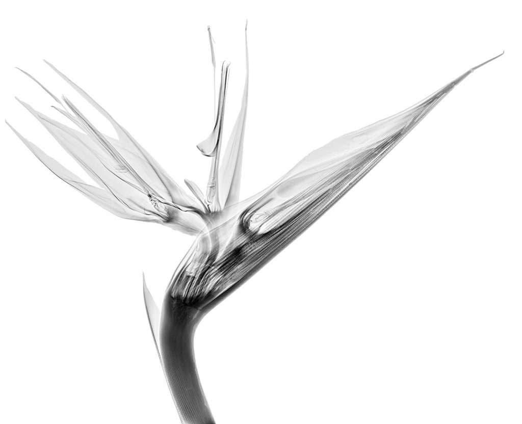 FAQ: x-rays of flowers