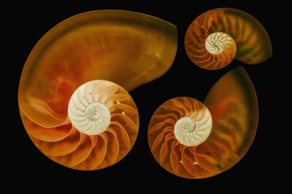 Three Nautilus shells with light inverison © Julian Köpke