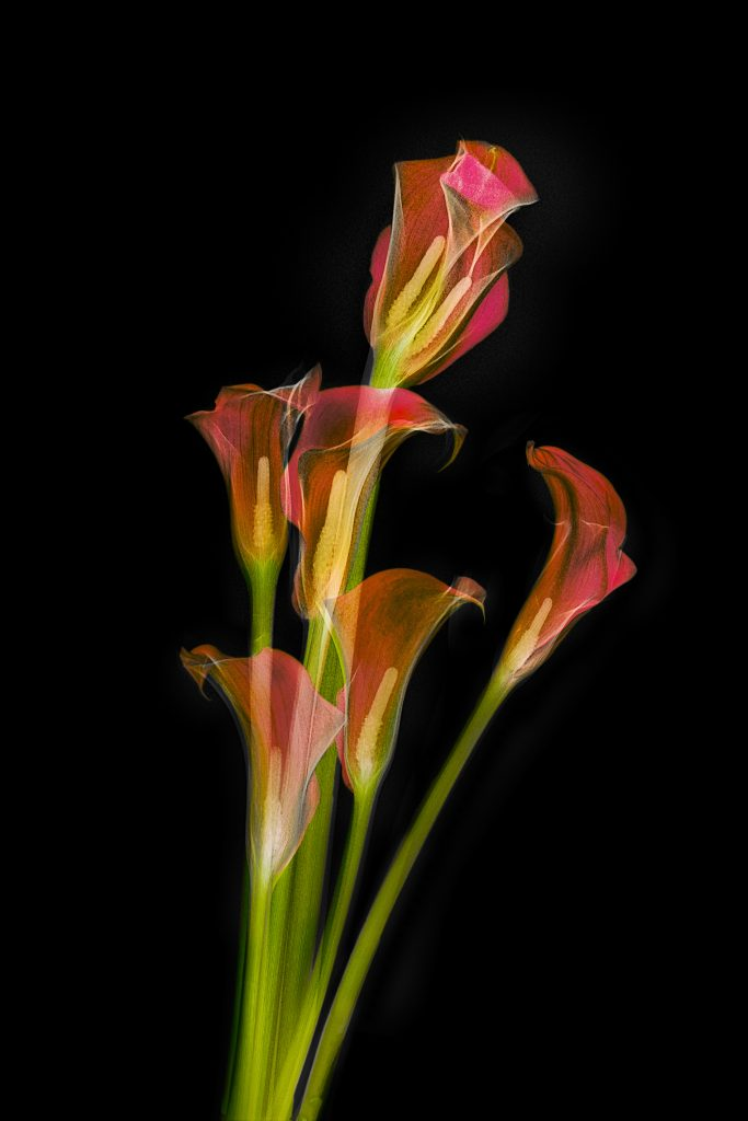 Fusion X-ray photo Calla lilies IV. Black background using Lab inversion.  © Julian Köpke